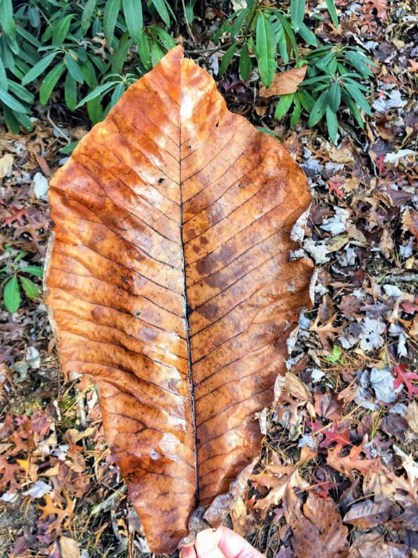 Huge leaf found in the fall on the trails of the Red River Gorge.